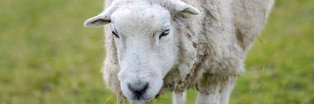 Oldest sheep in the world